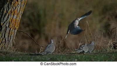 Collared Dove, streptopelia decaocto, Adult in Flight, Group...