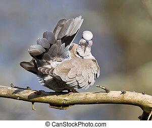 Collared Dove,Streptopelia decaoct - Collared Dove preening...