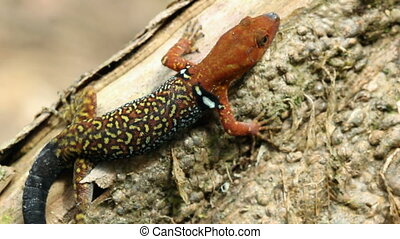 Collared Gecko (Gonatodes concinnat - Male with breeding...