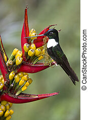 Collared Inca Hummingbird - Ecuador - Collared Inca...