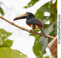 collared, perched, træ, aracari