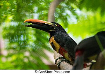 collared, torquatus)toucan., aracari, (pteroglossus