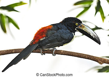collared, toucan, aracari