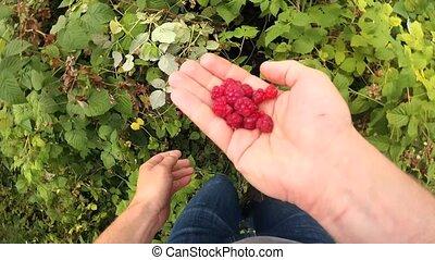 collecting, созревший, малина, взрослый, руки, красный, человек