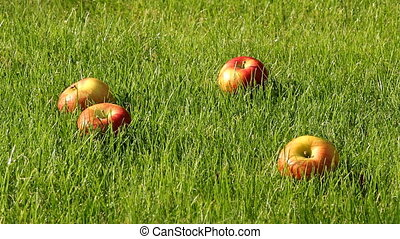 apples - collecting apples