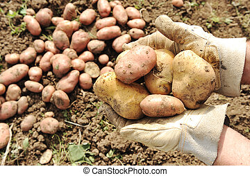 Collecting harvest in autumn: potato  in hands of female worker