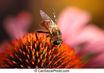 Collecting Honey - Close-up of a honey-bee on a flower