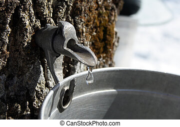 Collecting maple sap - Droplet of maple sap flowing from tap...