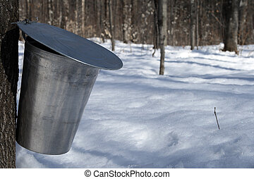 Maple syrup season. Pail used to collect sap of maple tree to produce maple syrup.