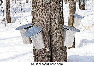 Metal pails on trees for collecting sap to produce maple syrup.