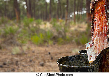 Collecting pine resin in buckets, closeup. High quality photo