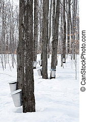 Collecting sap for maple syrup production. Quebec, Canada.