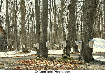 Collecting sap for maple syrup - Forest of maple trees with...