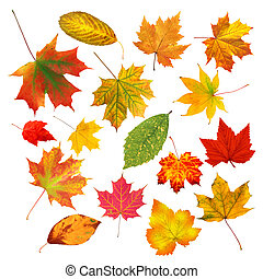 collection beautiful colourful autumn leaves isolated on white