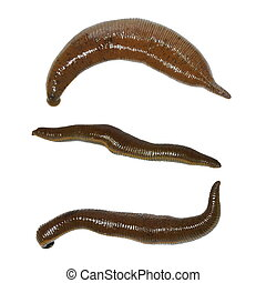 collection medical leech isolated