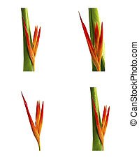 Collection of beautiful flowers (Bird of paradise) isolated on white background