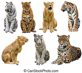 collection of big cat (panthera) isolated on white ...