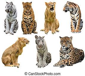 collection of big cat (panthera)