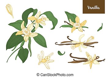 Collection of botanical drawings of vanilla plants with fruits or pods, blooming flowers and leaves isolated on white background. Colorful vector illustration hand drawn in elegant antique style.