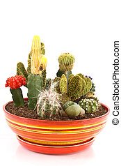 collection of cacti - collection of cactus in a pot