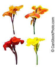 Collection of Canna lily