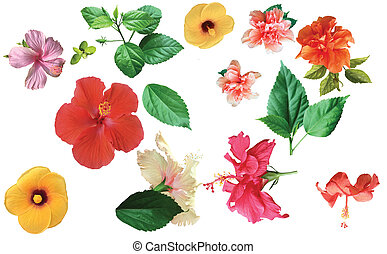 Collection of colored hibiscus flowers with leaves isolated