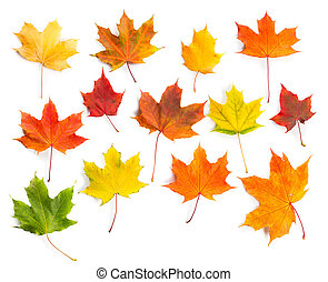Collection of colorful autumn maple leaves isolated on a white background.