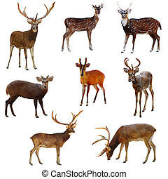 Collection of deer. - Collection of deer on a white...