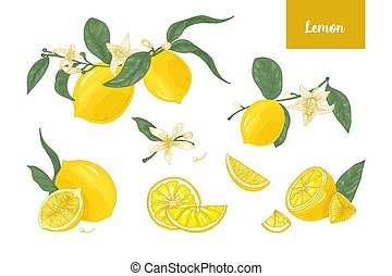 Collection of detailed drawings of whole and cut lemons, branches, flowers and leaves isolated on white background. Bright yellow citrus fruit. Vector illustration hand drawn in elegant vintage style.