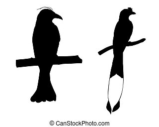 Collection of Drongo Bird on tree branch Silhouettes.