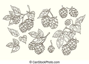 Collection of elegant botanical drawings of hop parts. Set of contour flowers and leaves of plant isolated on white background. Vector illustration in vintage engraving style.
