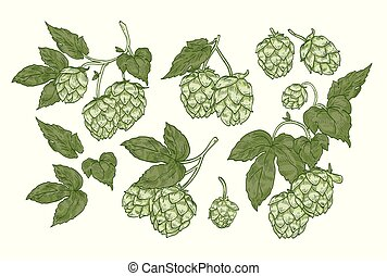 Collection of elegant botanical drawings of hop parts. Set of flowers and leaves of plant cultivated for beer brewing isolated on white background. Vector illustration in vintage engraving style.