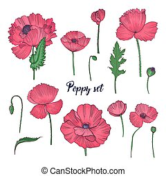 Collection of elegant detailed botanical drawings of wild blooming pink poppy flowers, seed heads, leaves and buds isolated on white background. Colorful hand drawn realistic vector illustration.