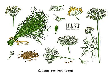Collection of elegant drawings of dill plant with flowers, leaves and seeds isolated on white background. Fragrant herb hand drawn in vintage style. Colorful realistic botanical vector illustration.
