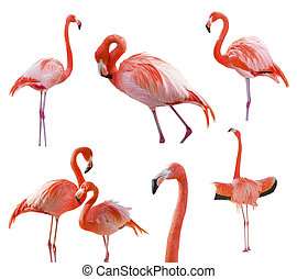 Collection of Flamingos Isolated on White