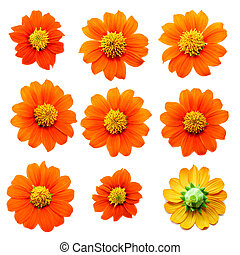 Collection of Flower on white background ,Tithonia ...