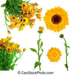 Collection of fresh  calendula flowers