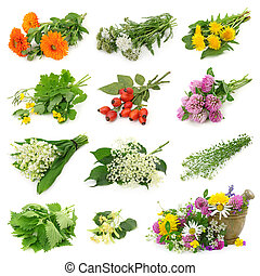 Collection of fresh medicinal herb isolated on white ...