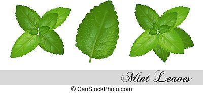 Collection of fresh mint leaves. Vector set