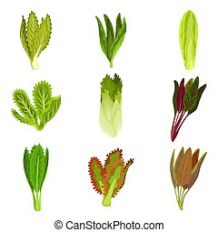 Collection of fresh salad leaves, radicchio, lettuce,...