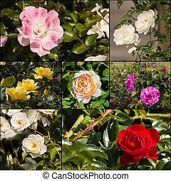 collection of garden roses