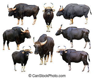collection of gaur isolated