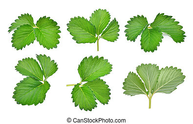 collection of green strawberry leaf isolated on the white background