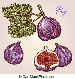 Collection of highly detailed hand drawn friut fig. Fig branch and fruit vector illustration. Eco food set
