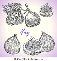 Collection of highly detailed hand drawn fruit fig. Vector...
