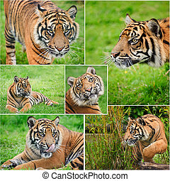 Collection of images of Sumatran Tiger Panthera Tigris Sumatrae in captivity
