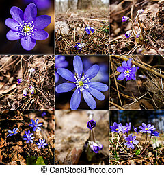 Collection of images with first fresh blue violet in the forest