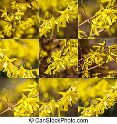 Collection of images with yellow forsythia flowers