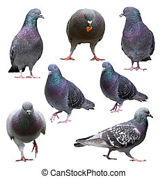 collection of isolated pigeons
