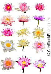collection of lotus isolate white bacground with clipping path